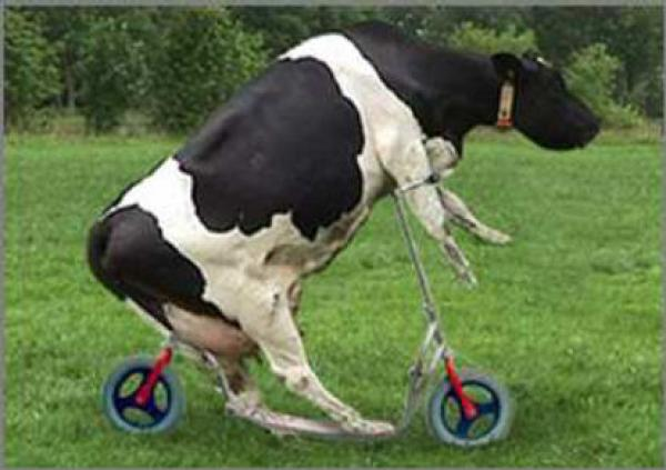 scooter-cow